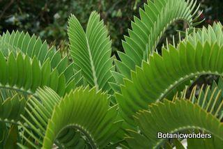 Cycad Encephalartos longifolius