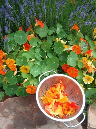 ...Nasturtiums... edible flowers...taste peppery, like watercress...recipe for a sparkling drink made of nasturtium blossoms (opt for coconut sugar)