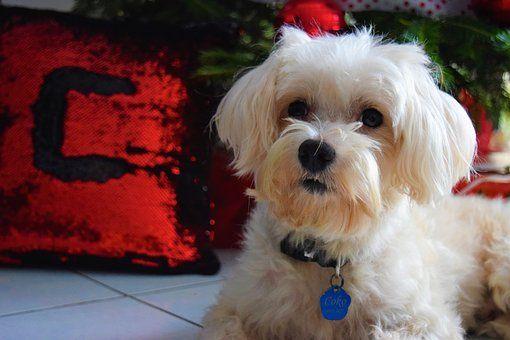 Dog, Model, Christmas