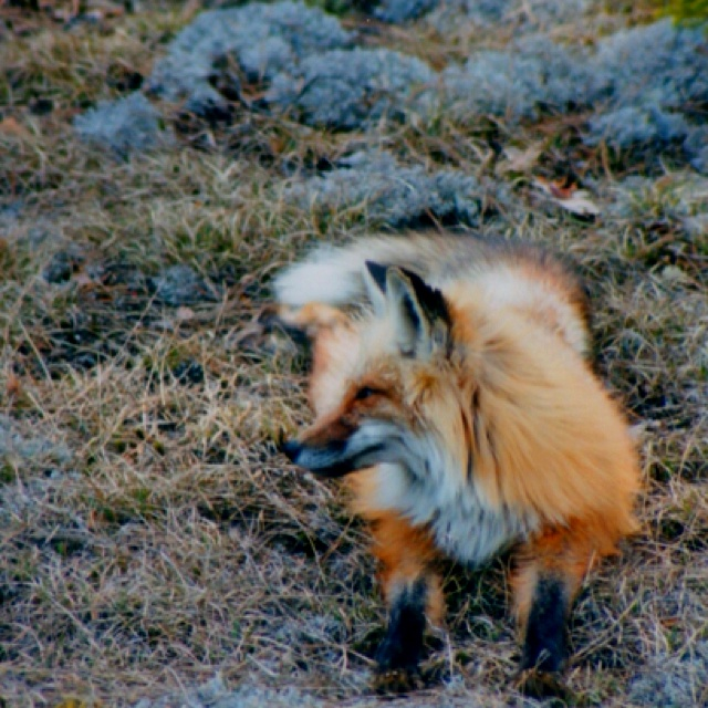 Red fox, Algonquin Provincial Park.