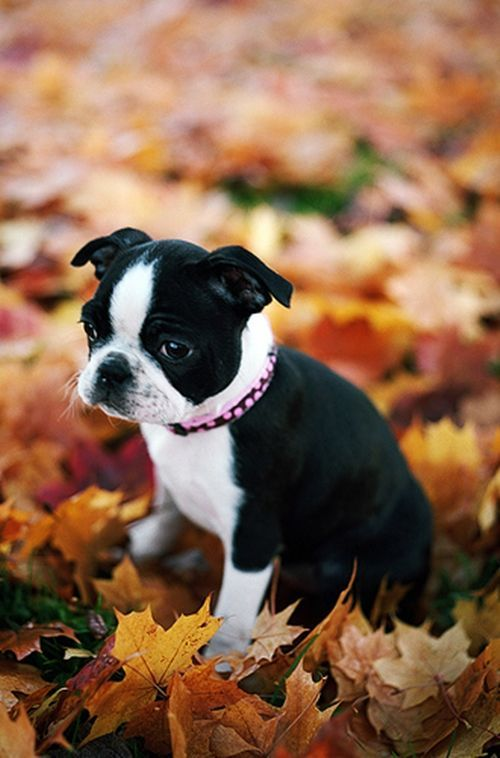 Absolutely precious Boston Terrier in crunchy Fall leaves♥