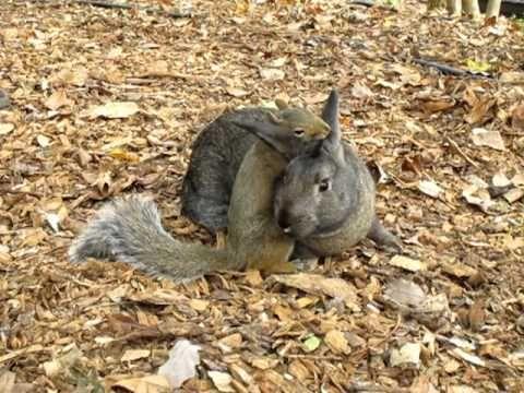 Squirrel ne peut pas prendre ses pattes Off adorable lapin  Regarder le plus mignon session blottir entre un écureuil et un lapin. L'écureuil ne veut tout simplement pas lâcher!