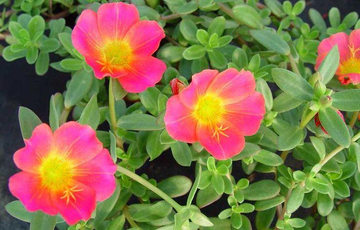 Portulaca grandiflora revista de flores plantas for Plantas paisajismo