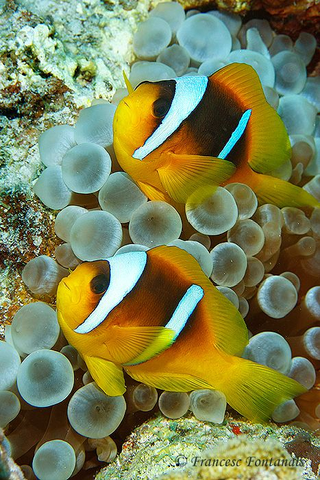 clownfishes by Francesc Fontanals on 500px