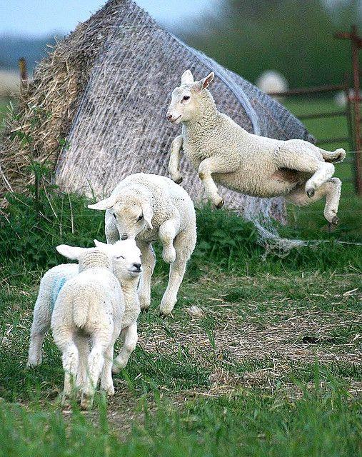 """""""saute-mouton"""""""