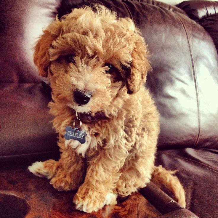 bichpoo, bich-poo, poochon, charleythebichpoo, puppy love