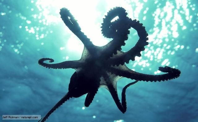 (via BBC Nature - Octopuses videos, news and facts)