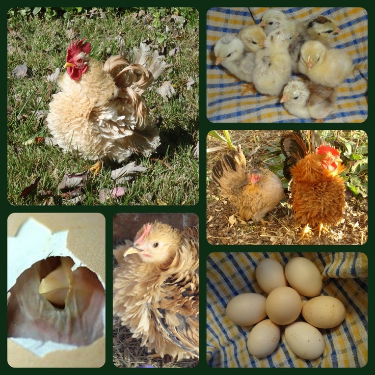 Serama hatching eggs for sale!  #serama #chickens  #poultry  #miniature chickens