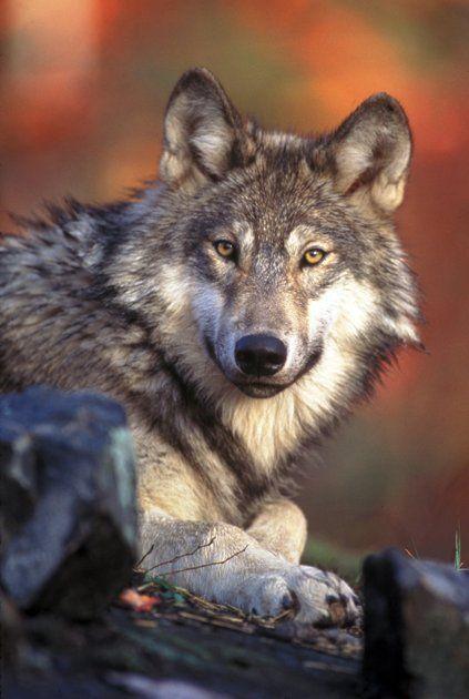 Pese a que se dice que son peligrosos es mas bien un animal timido :)
