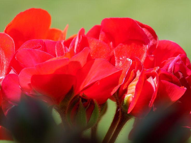 pelargonia-geranium