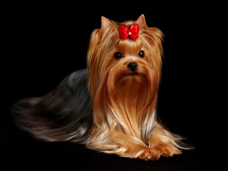 Information on yorkshire terriers/characteristics of a yorkie/puppies