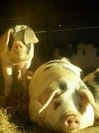 Horton Hill Farm in Jefferson raises Gloucestershire Old Spot pigs. These pigs are raised on green pastures and fed locally mixed grain, whey from Harpersfield Cheese and garden grown fruits and vegetables.  They have USDA cuts of pork available.