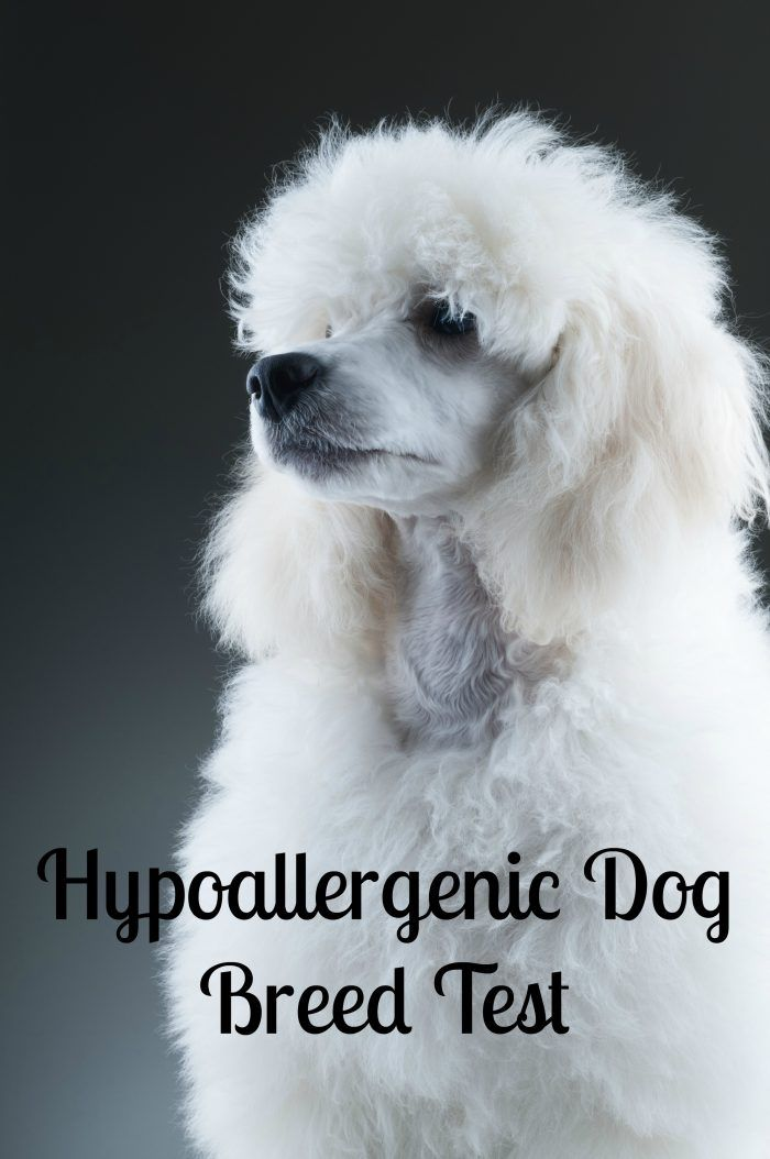 Hypoallergenic Dog Breed Test Helps You Choose the Perfect Pooch