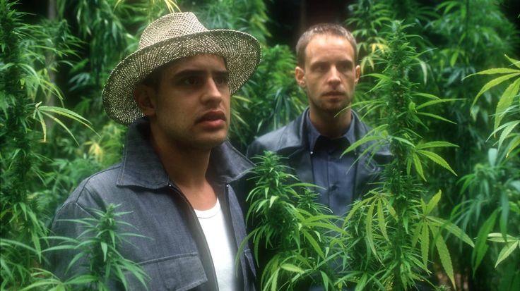 Der beste Ferienjob der Welt: Erntehelfer auf der Cannabis-Plantage