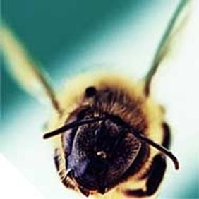 Anche le fastidiose punture di questo prezioso imenottero possono, alla luce di recenti ricerche, rivelarsi benefiche. Il veleno d'api come cura