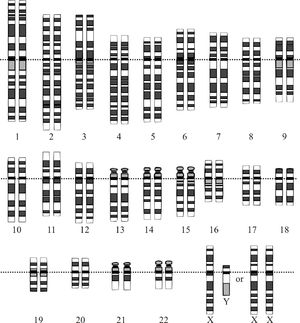 Graphical representation of the idealized human karyotype, showing the organization of the genome into chromosomes. This drawing shows both the female (XX) and male (XY) versions of the 23rd chromosome pair.