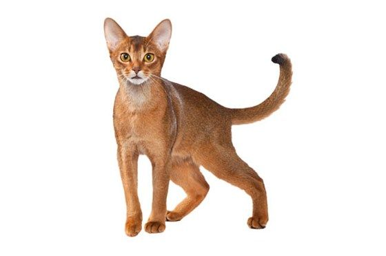 Abyssinian Cat Breed - Purina®