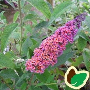 Violette blomster i udspring, senere gulorange. Blomstrer i august-september. Kan blive op til 2 meter høj.