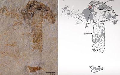 Βρέθηκε το αρχαιότερο μανιτάρι ηλικίας 115 ετών - Εντοπίστηκε στη Βραζιλία και μοιάζει πολύ με τα σημερινά