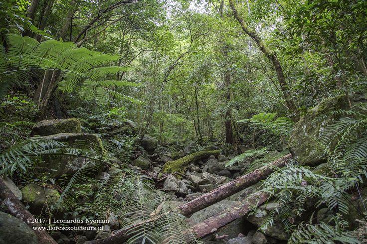 Trekking in Mbeliling forest, Flores island