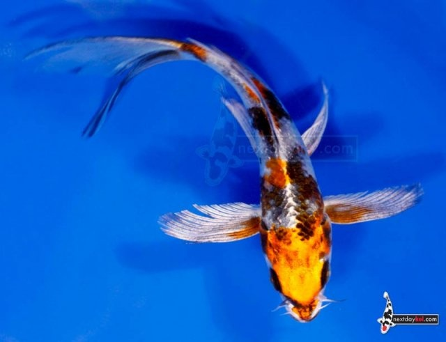 17 best images about koi on pinterest image search for Butterfly koi fish aquarium