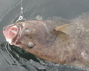 how to clean a halibut