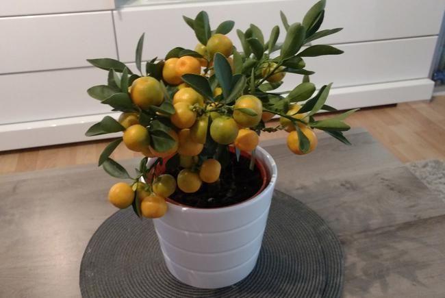 Entretien du Bonsai Citrus et citronnier