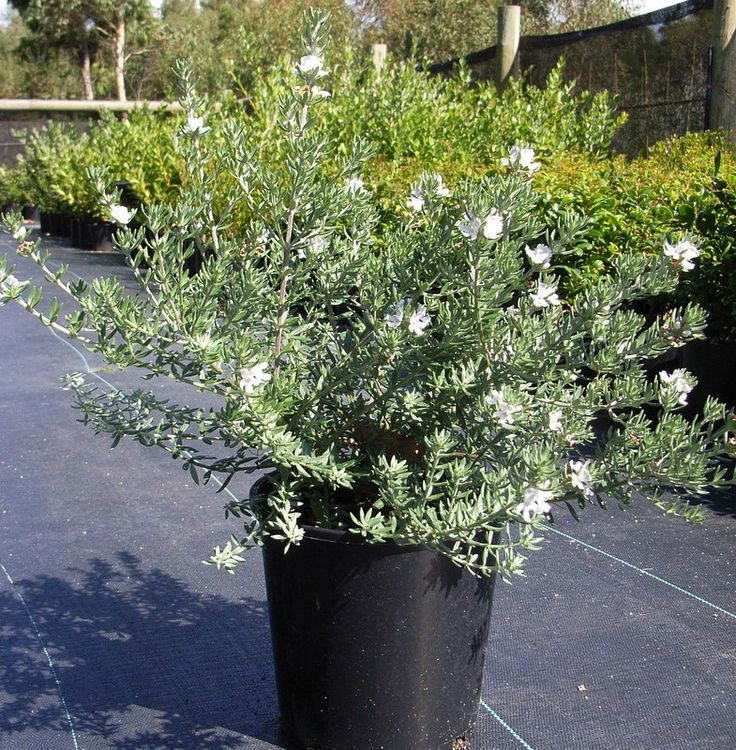 Coastal Rosemary - front flower bed
