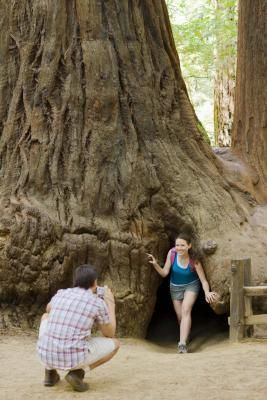 The giant redwood trees of Redwood National Park greet visitors.