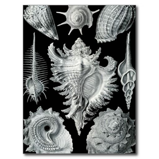 Haeckel Prosobranchia #Post Card #shells