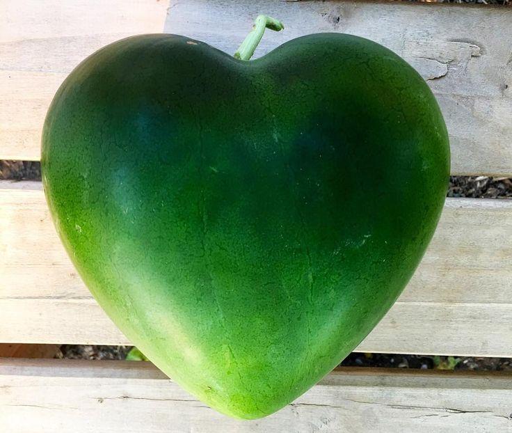 Kalp karpuzlarımızı özel kalıplarımızda hiçbir kimyasal kullanmadan sevgiyle büyütüyoruz Siz de kıymetlilerinize sevgiyle hediye edebilirsiniz #shapedfruit #watermelon #hearth #love #lovely #gift #original #natural #doğal #sağlıklı #mutlu #gift #hediye #delicious