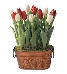 Red And White Tulip Bulb Garden In Red Metal Container