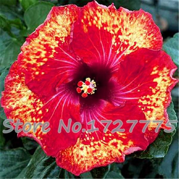 200pcs Hibiscus seeds 24kinds HIBISCUS ROSA-SINENSIS Flower seeds hibiscus tree seeds for flower potted plants