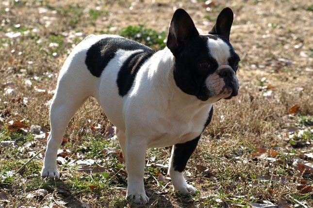 French Bulldog - i want one.