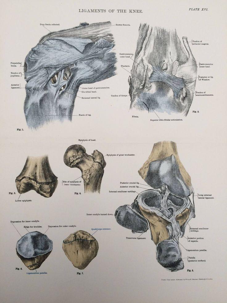 1920 Large Original Vintage Anatomical Illustration - Ligaments of the Knee - Anatomy - Bones & Ligaments - Science - Medical Decor by NinskaPrints on Etsy https://www.etsy.com/uk/listing/564044699/1920-large-original-vintage-anatomical