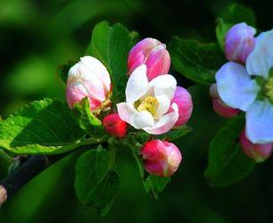 Kwitnące drzewa owocowe http://zielonaoaza.com.pl/ #drzewaowocowe #kwiaty #sad #wiosna #zielonaoaza