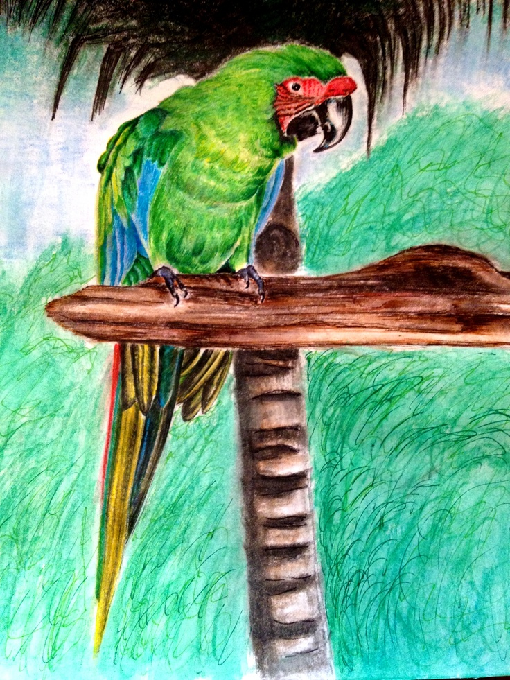 Great Green Macaw in ink and colored pencil on paper.