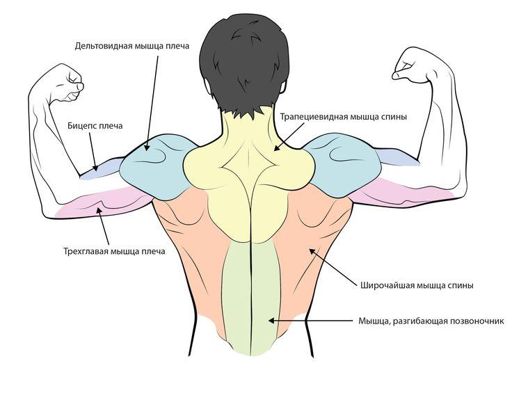 КАК ПРОКАЧАТЬ ДЕЛЬТОВИДНЫЕ МЫШЦЫ   Данная группа мышц, обычно хорошо тренируемая, то есть отзывчивая к нагрузкам, за исключением, быть может, задней части дельты. Но это связано, скорее всего, со сложностью технически правильного выполнения упражнения на эту часть.  Многие спортсмены выделяют для тренировки дельт отдельный день, и предпочитают комбинировать тренировку отдельных пучков дельт с другими группами мышц, например, переднюю часть с грудью и т.д.   Хотелось бы подчеркнуть особую…