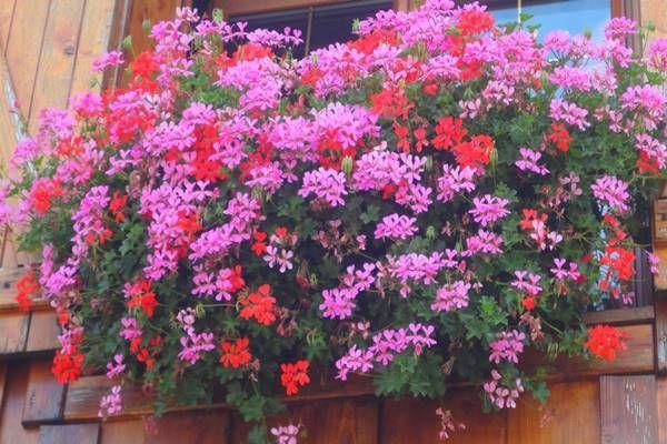 Ezt csepegtesd a muskátlira, folyamatosan hozza majd az új virágokat!