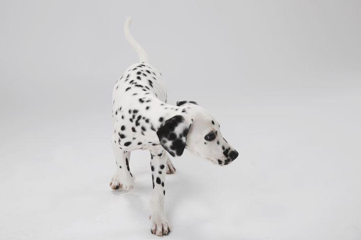 #달마시안 #컴마 #애견 #반려동물   #사진 #강아지 #友達 #カムマ #ノム #ペット #写真 #犬 #ダルメシアン #Dalmatian #comma #Friend #dog