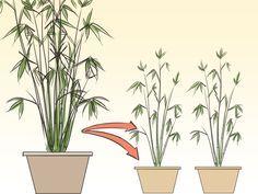 Bamboo plants are very popular and while being in a pot makes them more sensitive, they can easily be grown as a house plant if you give them the right conditions to grow in. Plant your bamboo in a pot which is wider at the top than the...