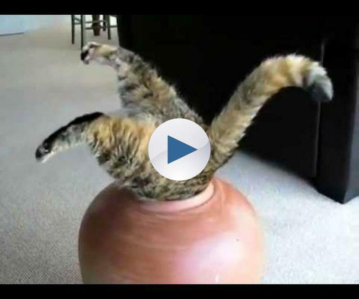 faze tari cu pisici