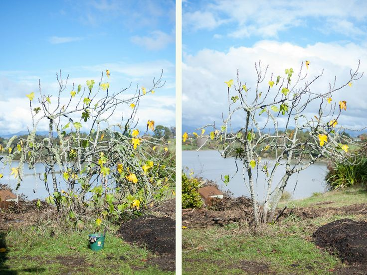How to prune a fig tree.  The first in a series of posts from Country Trading on how to prune fruit trees.