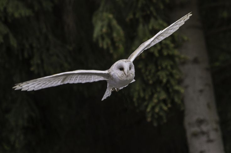Flying owl - a beautiful owl flying trough the German woods.