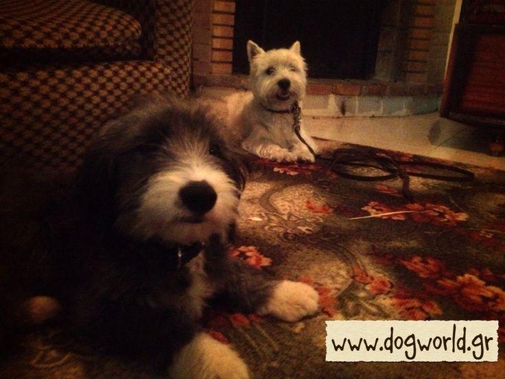 West Highland - Dog training