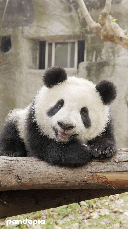 Watching his cute ears (Ya Zhu/雅竹)