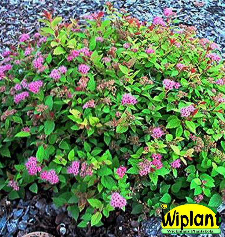 Spiraea jap. 'Magic Carpet', Dvärgpraktspirea. Gul-oranga bladtoppar. Rosa blommor. Höjd: 0,4 m.