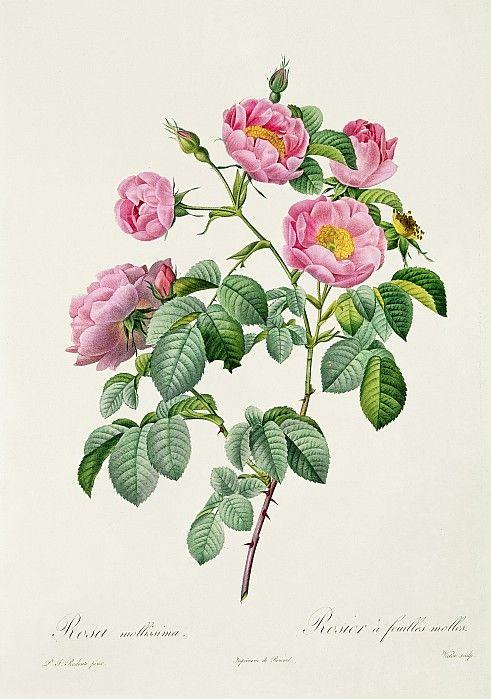 Rosa mollissima - botanical print