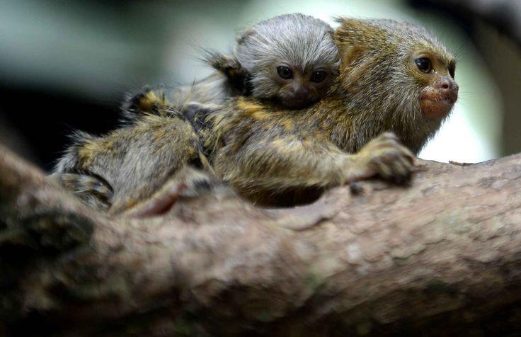 Un jeune ouistiti pygmée né il y a un mois dans le zoo de Medellin, en Colombie, sur le dos de sa mère.