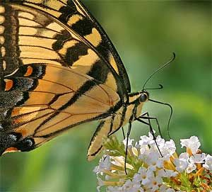 Prune butterfly bushes any time of the year except early winter. Cut back 12-24 inches in height, but do not cut any new growth (that's where the flowers come from) Fertilize with 10-10-10 in March or April